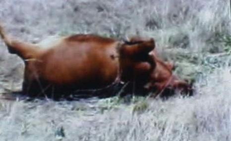 COW MUTILATION USA