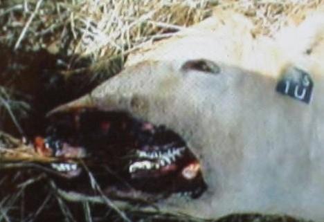 sheep-cow mutilation, dark skies
